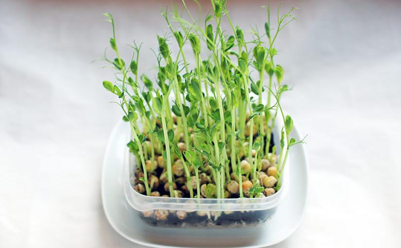 Grønne ertespirer på 10-14 dager
