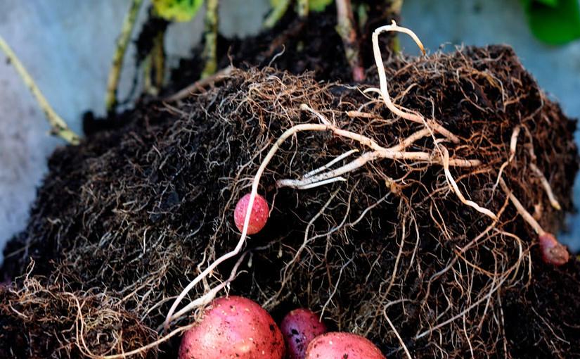 Slik dyrker du poteter