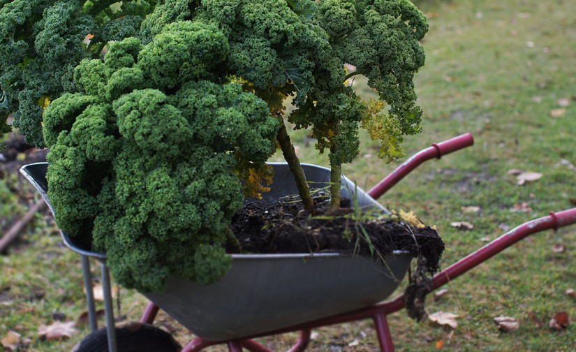 Grønnkål på trillebår