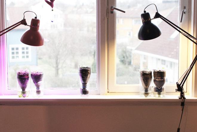 En skrivebordslampe med sparepære kan fungere som ekstra lyskilde når du dyrker i vinduskarmen.